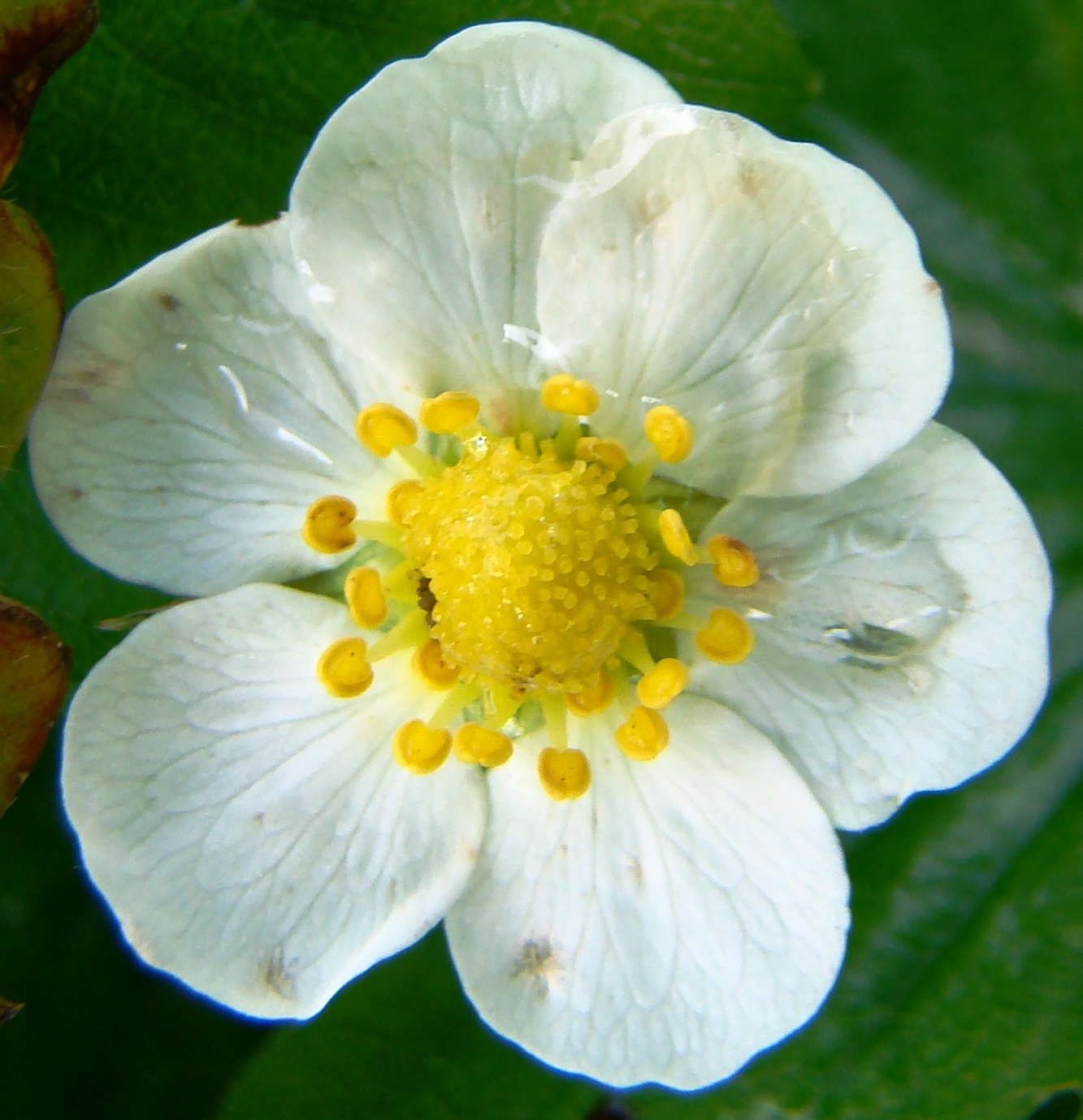 Strawberry Flower  Viewing Gallery